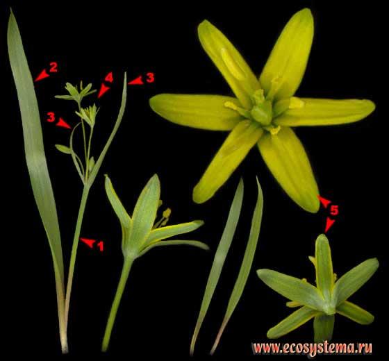 Гусиный лук желтый — Gagea lutea (L.) Ker-Gawl.