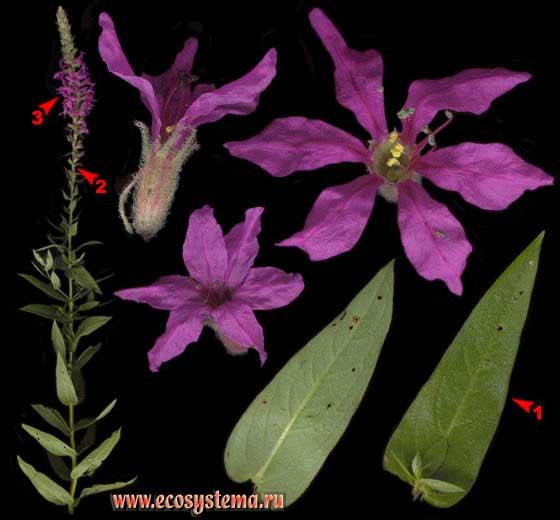 Дербенник иволистный, или Плакун-трава — Lythrum salicaria L.