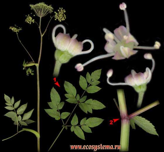 Дудник лесной — Angelica sylvestris L.