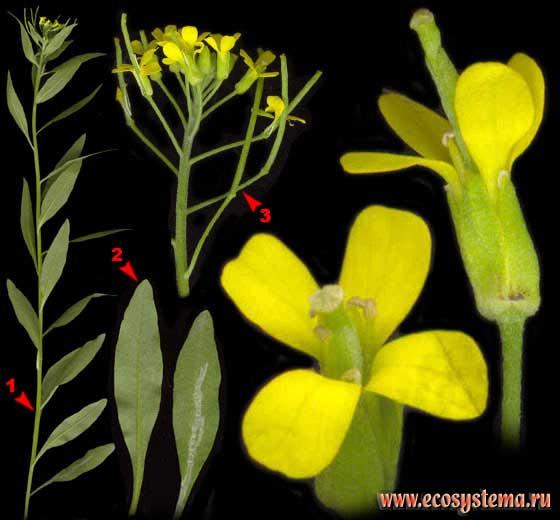 Желтушник левкойный — Erysimum cheiranthoides L.