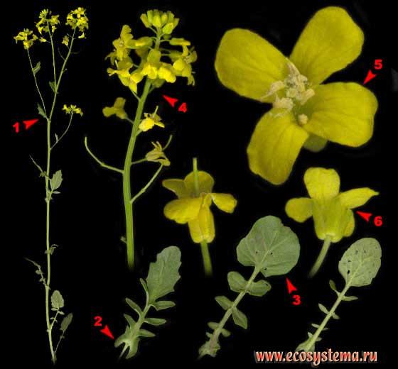 Жерушник болотный — Rorippa palustris (L.) Bess. (Rorippa islandica auct.)