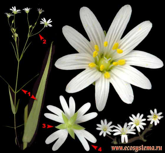 Звездчатка жестколистная — Stellaria holostea L.