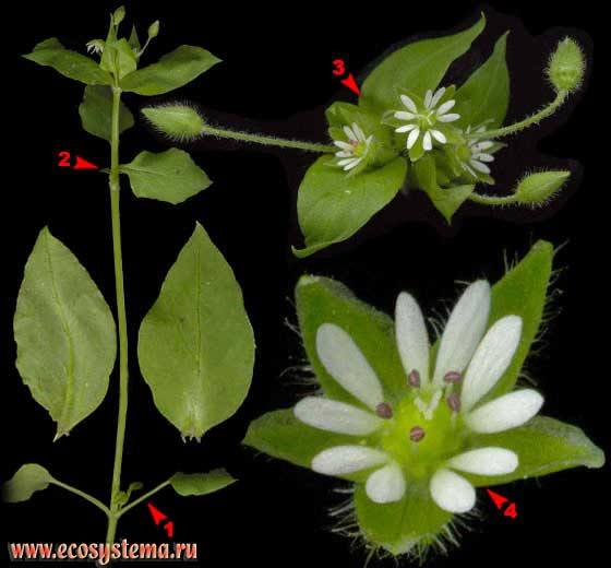 Звездчатка средняя, или Мокрица — Stellaria media (L.) Vill.