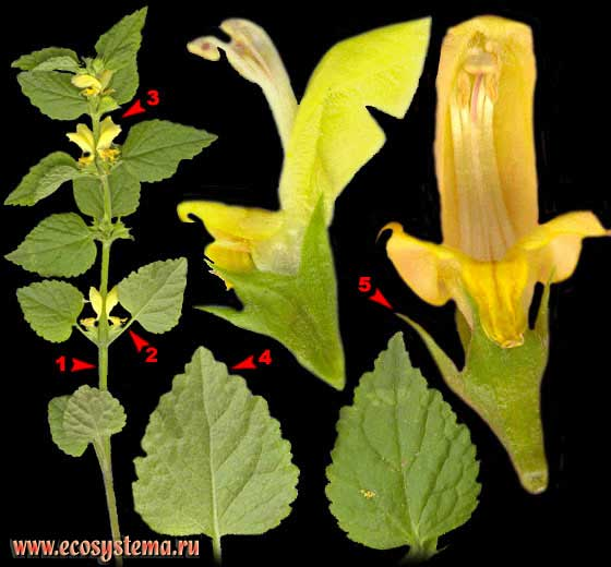 Зеленчук желтый — Galeobdolon luteum Huds. (Lamiastrum galeobdolon (L.) Ehrend. et Polatschek)