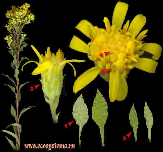 Золотарник обыкновенный, или Золотая розга — Solidago virgaurea L.