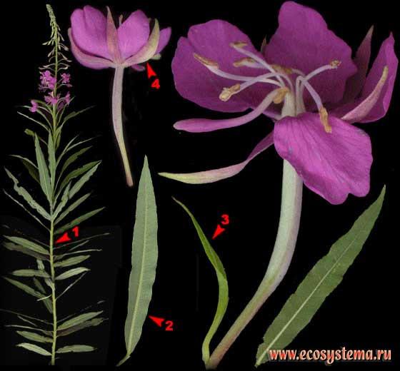 Иван-чай узколистный — Chamerion angustifolium (L.) Holub (Epilobium angustifolium L., Chamaenerion angustifolium (L.) Scop.)