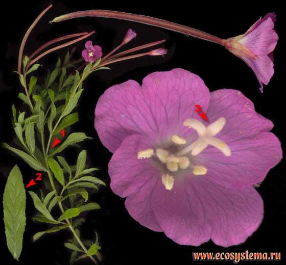 Кипрей волосистый — Epilobium hirsutum L.