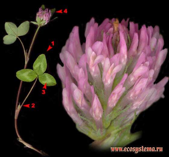 Клевер луговой — Trifolium pratense L.