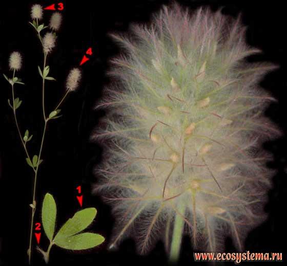 Клевер пашенный — Trifolium arvense L.