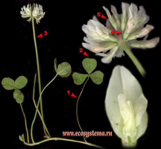 Клевер ползучий — Trifolium repens L. (Amoria repens (L.) C. Presl)
