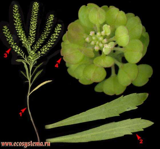 Клоповник мусорный —Lepidium ruderale L.