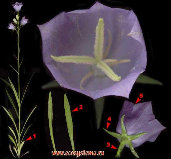 Колокольчик персиколистный — Campanula persicifolia L.