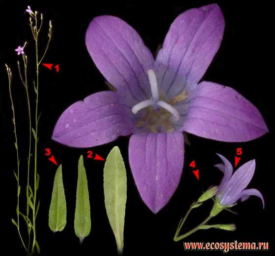 Колокольчик раскидистый — Campanula patula L.