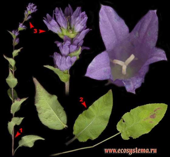 Колокольчик сборный, или скученный — Campanula glomerata L.