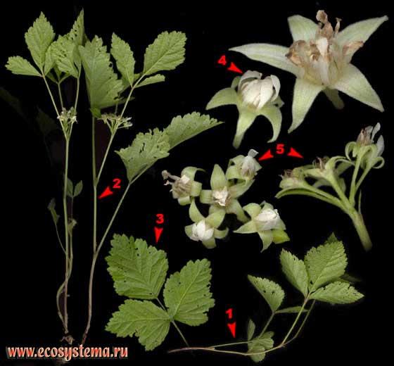 Костяника — Rubus saxatilis L.