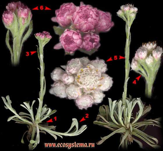 Кошачья лапка двудомная — Antennaria dioica (L.) Gaertn.