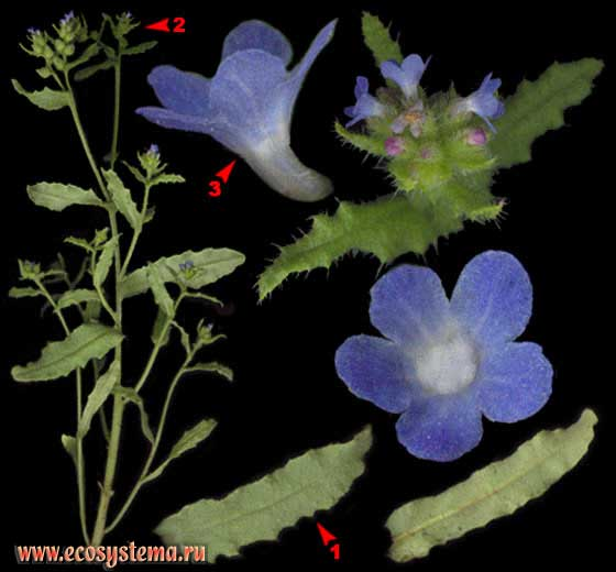 Кривоцвет полевой — Lycopsis arvensis L.