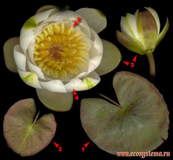 Кувшинка белоснежная — Nymphaea candida J. et C. Presl