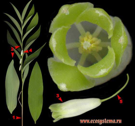 Купена душистая, или лекарственная — Polygonatum odoratum (Mill.) Druce (Polygonatum officinale All.)