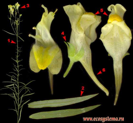 Льнянка обыкновенная — Linaria vulgaris Mill.