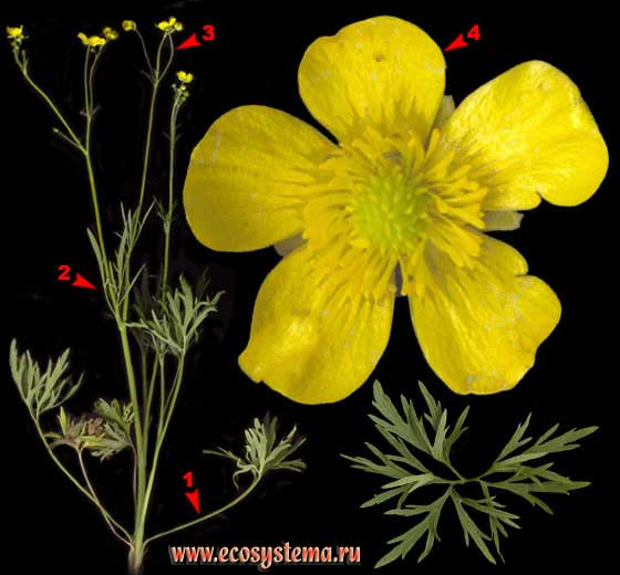 Лютик едкий — Ranunculus acris L.