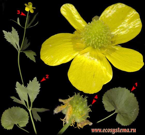 Лютик кашубский —  Ranunculus cassubicus L.