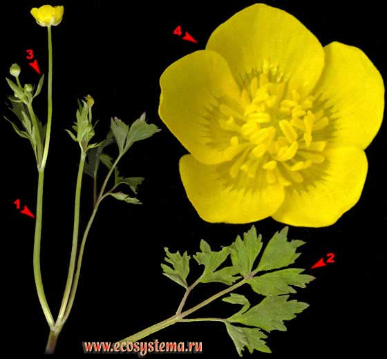 Лютик ползучий —  Ranunculus repens L.