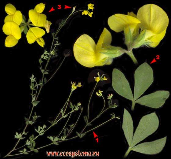 Люцерна серповидная — Medicago falcata L.