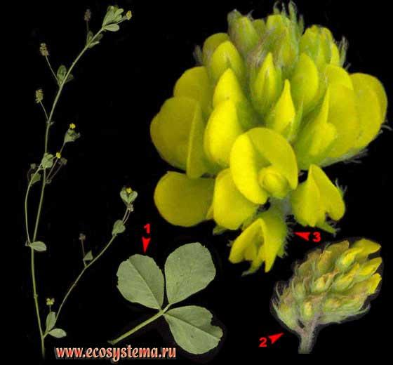 Люцерна хмелевая  — Medicago lupulina L.