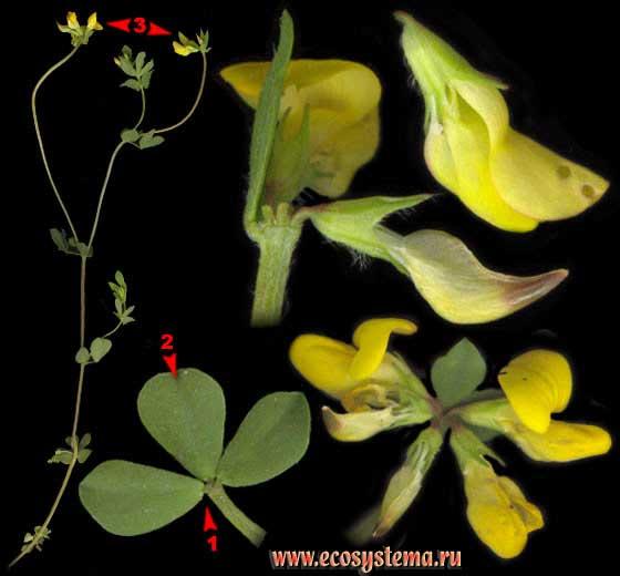 Лядвенец рогатый  — Lotus corniculatus L.s.l. (Lotus arvensis Pers., Lotus zhegulensis Klok.)