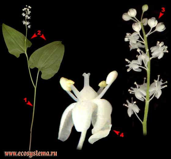 Майник двулистный —Maianthemum bifolium (L.) F.W.Schmidt