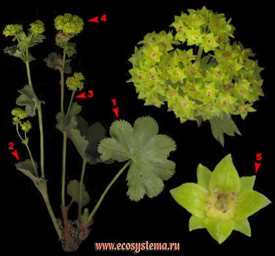Манжетки — Alchemilla sp.