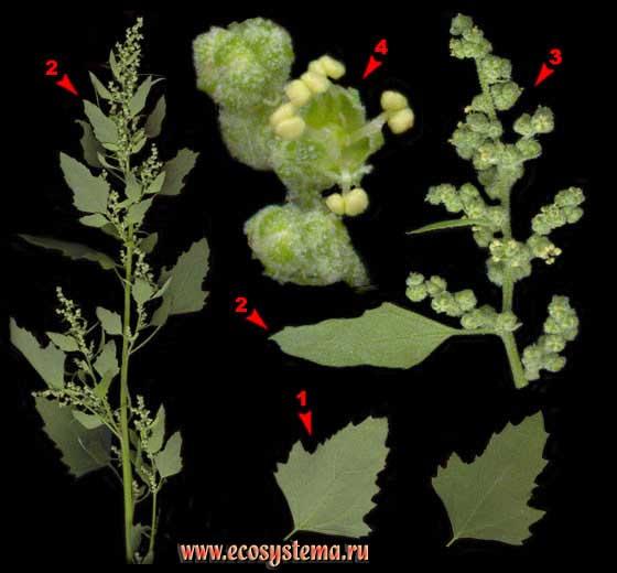 Марь белая — Chenopodium album L. s. l.