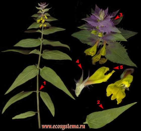 Марьянник дубравный, или Иван-да-Марья — Melampyrum nemorosum L.