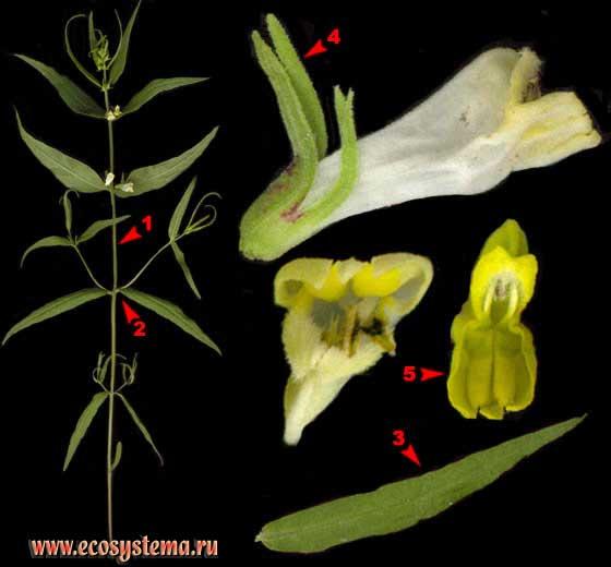Марьянник луговой — Melampyrum pratense L.