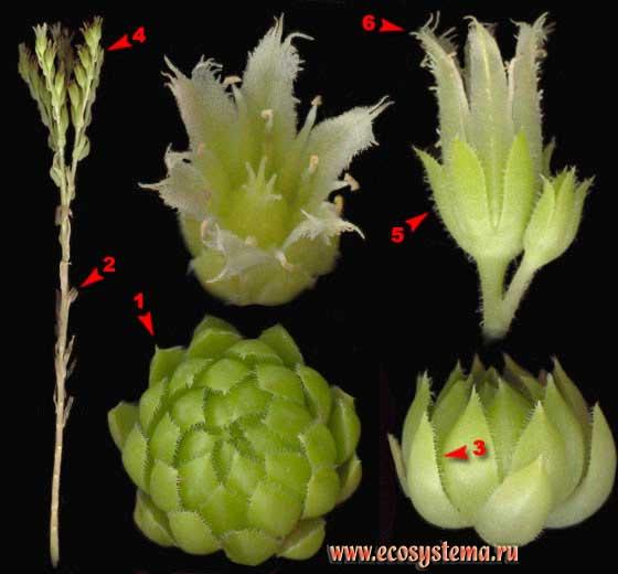 Молодило побегоносное —Jovibarba sobolifera (J. Sims) Opiz (Sempervivum soboliferum J. Sims)