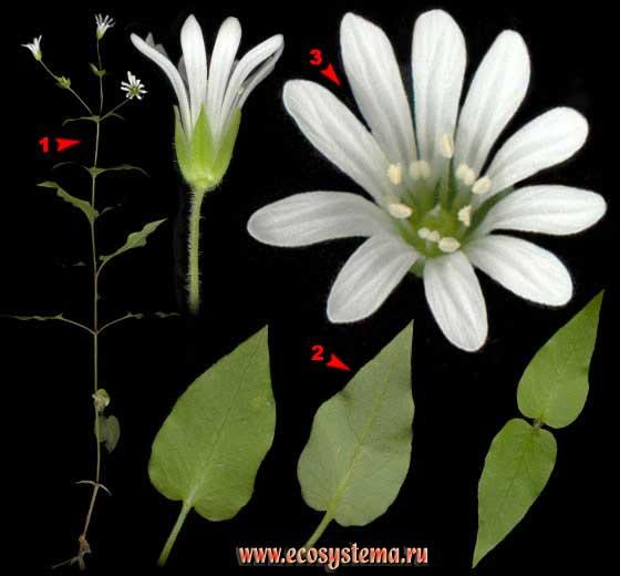Мягковолосник водный — Myosoton aquaticum (L.) Moench (Malachium aquaticum (L.) Fries)