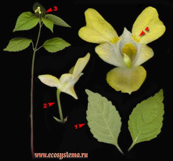 Недотрога мелкоцветковая — Impatiens parviflora DC.