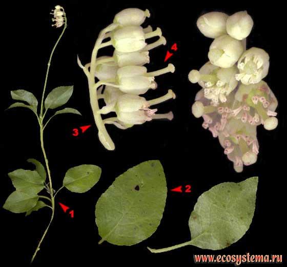 Ортилия однобокая, или грушанка однобокая — Orthilia secunda (L.) House (Ramischia secunda (L.) Garcke)