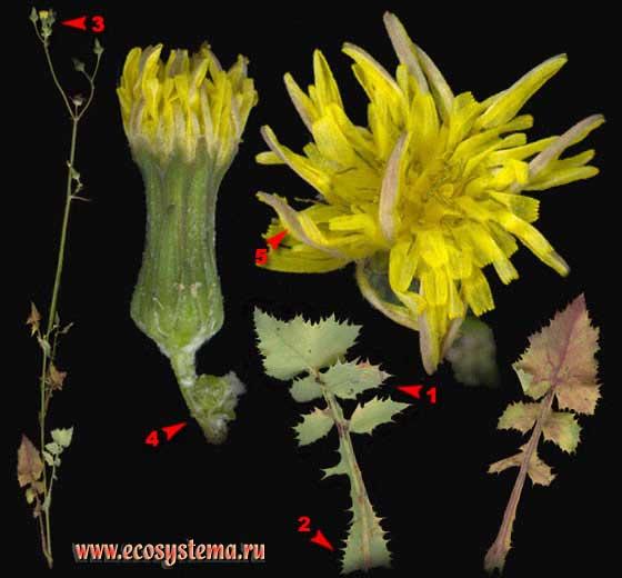 Осот огородный — Sonchus oleraceus L.