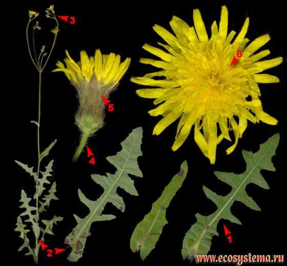 Осот полевой, или желтый — Sonchus arvensis L.