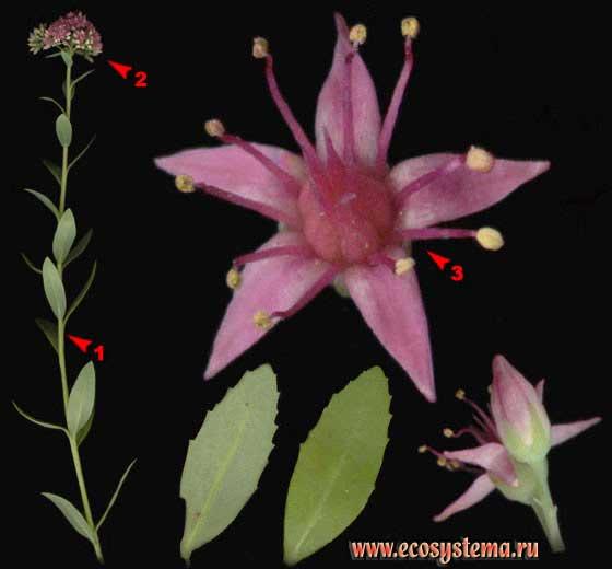Очиток пурпурный, или седум — Sedum telephium L. (Sedum purpureum (L.) Schult.)