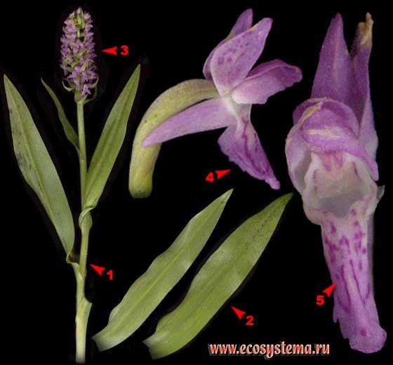 Пальчатокоренник мясо-красный, или ятрышник —Dactylorhiza incarnata (L.) Soo (Orchis incarnata L.)