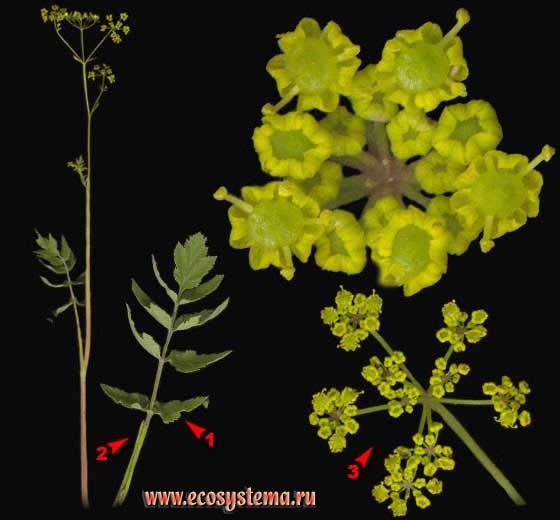Пастернак посевной — Pastinaca sativa L. (Pastinaca sylvestris Mill.)