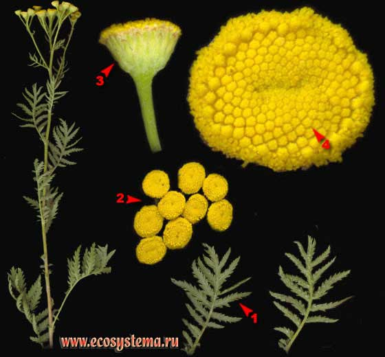Пижма обыкновенная — Tanacetum vulgare L.