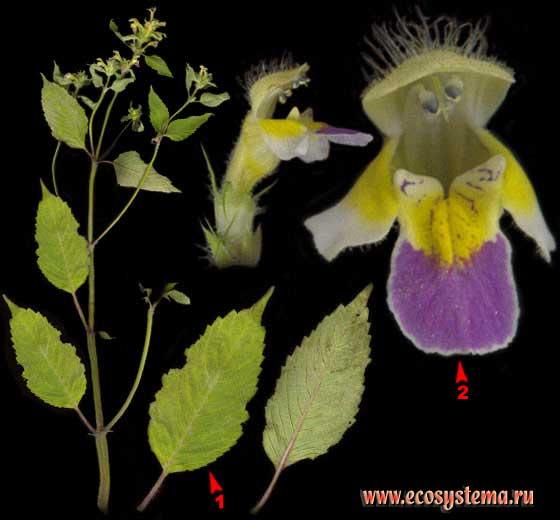 Пикульник красивый, или Зябра — Galeopsis speciosa Mill.