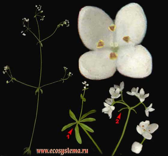 Подмаренник мягкий —Galium mollugo L. s. l. (вкл. G. album Mill., G. erectum auct.)