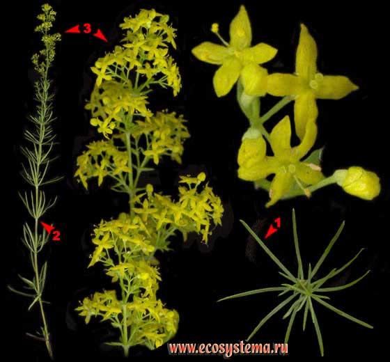 Подмаренник настоящий —Galium verum L. s. l. (вкл. G. ruthenicum Willd.)