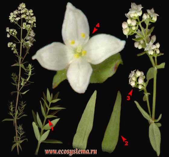 Подмаренник северный — Galium boreale L.