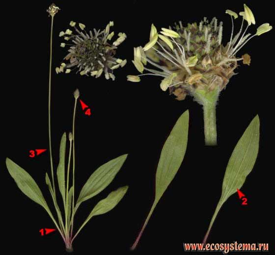 Подорожник ланцетный — Plantago lanceolata L.